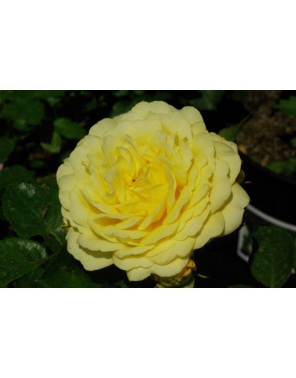 Rosa 'Yellow Meilove'