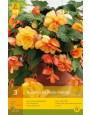 Begonia 'Cascade Sunray'