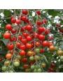 Cherrytomaat 'Bartelly F1' – Solanum lycopersicum