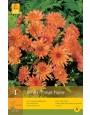 Dahlia 'Orange Pigmy'