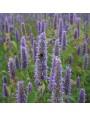 Dropplant – Agastache foeniculum
