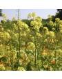 Gele mosterd - Groenbemester – Sinapis alba