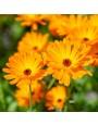 Goudsbloem – Calendula officinalis