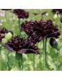 Papaver 'Black Paeony' – Papaver somniferum