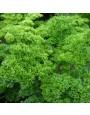 Peterselie 'Moskrul 2' – Petroselinum crispum
