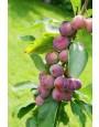 Prunus domestica 'Opal' struik