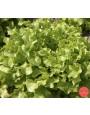 Eikenbladsla 'Salad Bowl'