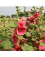 Stokroos, gemengd – Alcea rosea